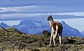 Torres del Paine guanaco JF1.jpg