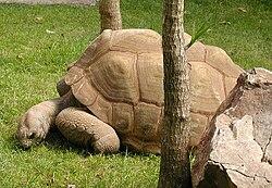 aldabra giganta testudo(Geochelone gigantea)de Aldabro, insuletaro en la Sejŝeloj.