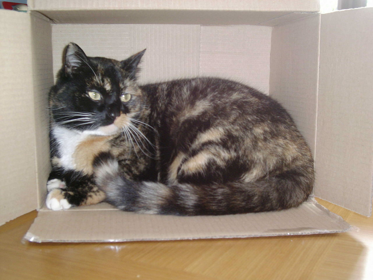 filetortoiseshell cat cindy in a boxjpg wikimedia commons