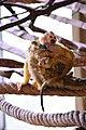 Totenkopfäffchen mit Jungtier im Zoo Osnabrück2.jpg