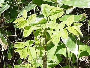 Toxicodendron vernicifluum - Image: Toxicodendron vernicifluum 01
