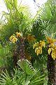 Trachycarpus fortunei-Parc du Grand Blottereau (6).jpg
