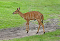 Tragelaphus angasii - female - Disney's Animal Kingdom Lodge - 2.jpg
