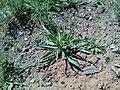 Tragopogon dubius 12.jpg