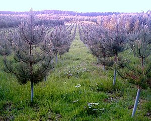 Tree Nursery, Oakmere. Forestry Commission Tre...