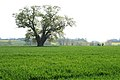 Tree and field near Hoxne - geograph.org.uk - 789479.jpg