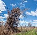 Tree shrouded in kudzu (40589p).jpg