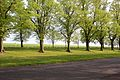 Trees at The Rowley Mile, Newmarket, UK.jpg