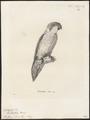 Trichoglossus iris - 1700-1880 - Print - Iconographia Zoologica - Special Collections University of Amsterdam - UBA01 IZ18500239.tif