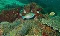 Tricolour Parrotfish (Scarus tricolor) male (6089204632).jpg
