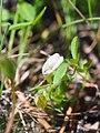 Trifolium monanthum 93297540.jpg