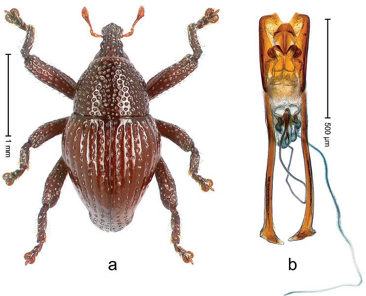 File:Trigonopterus attenboroughi 35686.jpg