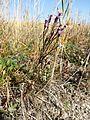 Tripolium pannonicum sl1.jpg