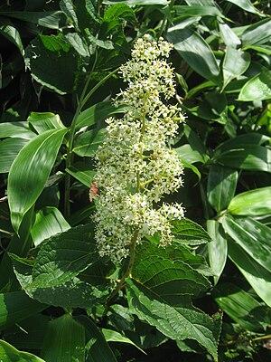 Tripterygium wilfordii - Image: Tripterygium regelii 1