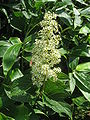 Tripterygium regelii 1.JPG