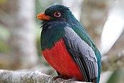 Trogon massena -Belize -male-8 (1).jpg