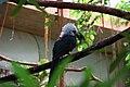 Tropicranus albocristatus -Central Park Zoo, USA-8a (1).jpg
