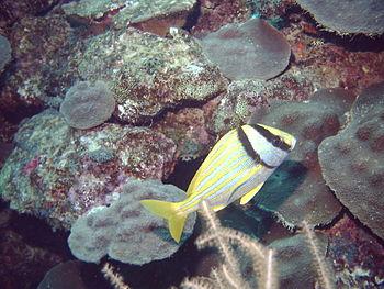 TucacasAnisotremusVirginicus