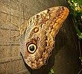 Tuecer Owl (Caligo tuecer).JPG