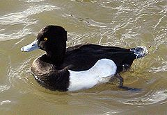 Tufted.duck.arp.500pix.jpg