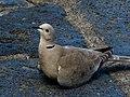 Turkduva Eurasian Collared Dove (20162573920).jpg