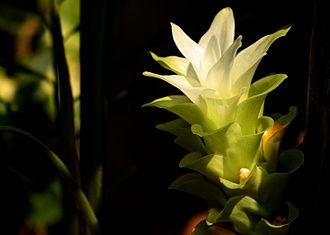 Turmeric - Turmeric flower