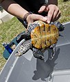 Turtle belly (5734563955).jpg