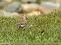 Twite (Carduelis flavirostris) (35396399970).jpg