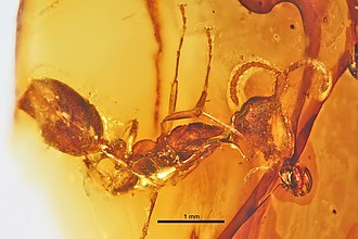Sphecomyrminae - Haidoterminus cippus