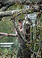 US Navy 050901-N-0553R-001 U.S. Navy Seabee, Equipment Operator 1st Class Eric Koppel uses a chainsaw to remove tree limbs in Gulfport, Miss.jpg