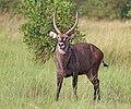 Ugandan defassa waterbuck (Kobus ellipsiprymnus defassa) male.jpg