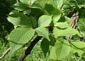Ulmus castaneifolia kz01.jpg