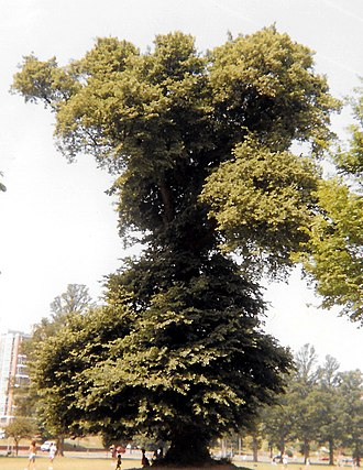 Ulmus minor 'Atinia' - Image: Ulmus minor atinia brighton preston park