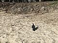 Un pigeon sur la plage de Flic en Flac (Île Maurice).JPG