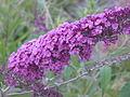 Unbestimmte violette Pflanze.JPG