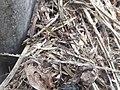 Unidentified brown little spider 02.jpg