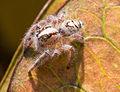 Unidentified spider with white hair, Sambisari Temple, Yogyakarta, 2014-09-28.jpg