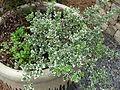 University of Georgia, Research and Education Garden flora 62.JPG