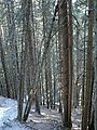 Unmanaged spruce forest.jpg
