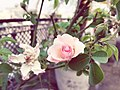 Urban Rose.jpg