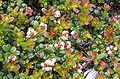 Vaccinium vitisidaea flower.jpg