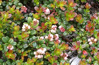 Vaccinium vitis-idaea - Flowers and young shoots