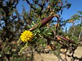 Vachellia farnesiana - flower and fruit.jpg