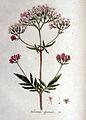 Valeriana officinalis — Flora Batava — Volume v1.jpg