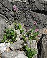 Valeriana officinalis PID1794-2.jpg