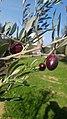 Variété d'olives Picholine.jpg