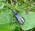 Variable Longhorn Beetle. Stenocorus meridianus - Flickr - gailhampshire (1).jpg