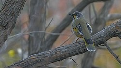 Variegated Laughingthrush Chopta Uttarakhand India 02.12.2015.jpg