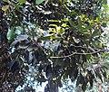 Vateria indica 13.JPG