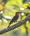 Velasquez's Woodpecker Melanerpes santacruzi, Veracruz (11916215934).jpg